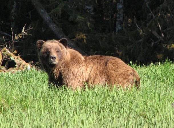 Grizzy bear in the Khutzeymateen Grizzly Bear Sanctuary, on the northwest coast of BC. This Provincial Park is Canada's only grizzly bear sanctuary under the joint management of the province of British Columbia and the Tsimshian Nation. Photo: Lisa Bland