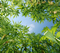 ENVIRONMENT | Industrial Hemp:  Green Economic and Environmental Solutions for BC and the World