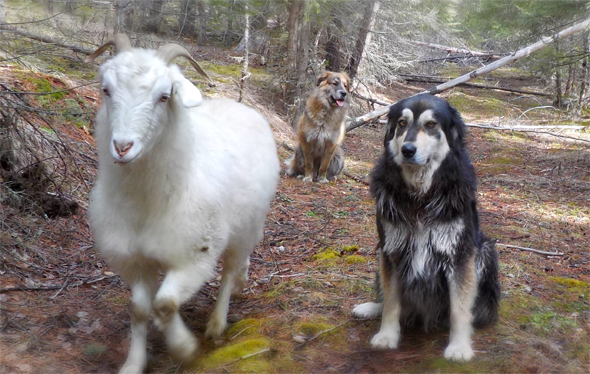 """Someone please let the human know this goat isn't one of us!""  Photo: Terri Smith"