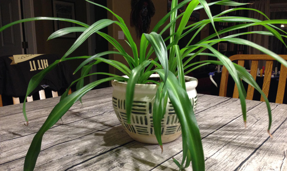 Part of the family: A spider plant off-shoot flourishing years after being sentimentally gifted. Photo: Oliver Berger