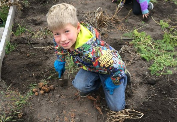 Grade 3 student Max Masun digs up some potatoes at Lac La Hache Elementary's school garden. Photo: Cynthia Neufeld