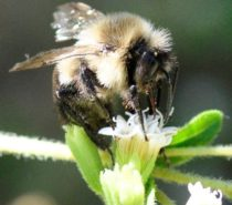 COLUMNS | SCIENCE MATTERS | Love Bees — especially the wild ones!