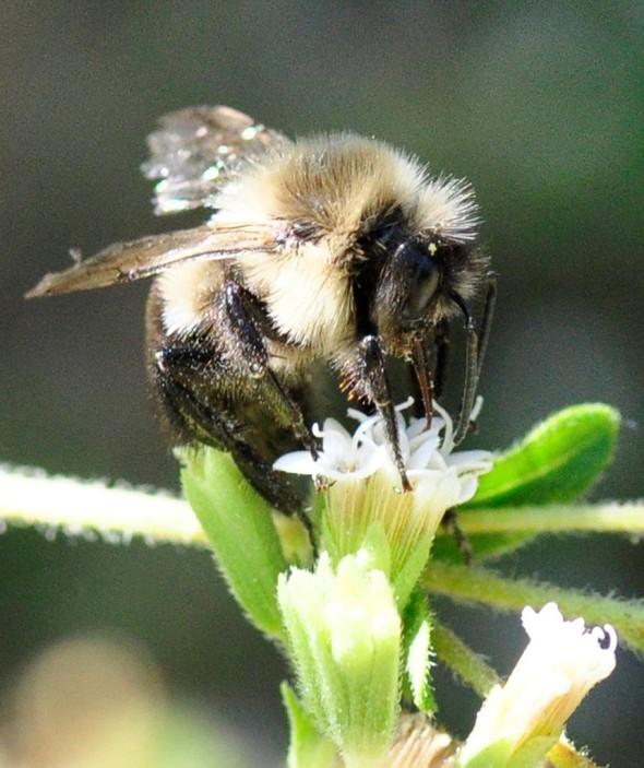Wild Bee. Photo:Flikr/Jimmy Smith