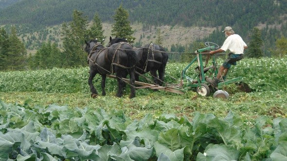 Rob Bursato plowing Mackin Creek Farm fields with traditional plow. Photo: R. Borsato