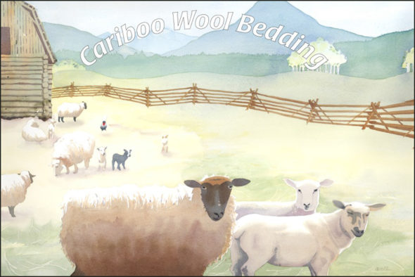 green-business-cariboo-wool-bed-sheep-11