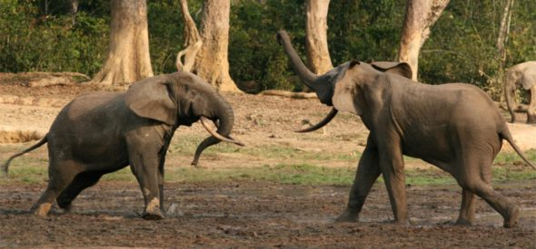 Elephant males throughout their lives challenge one another to establish dominance. Photo: Richard Ruggiero/USFWS