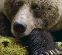 BC government urged to ban trophy hunting of grizzly bears