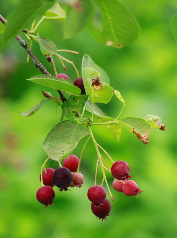 Saskatoon berries. Photo: Melissa McMasters. wikimedia.org/w/index.php?curid=47715163
