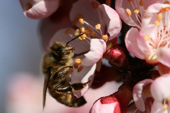 Honey bee worker on an apricot blossom. Photos: Diane Dunaway