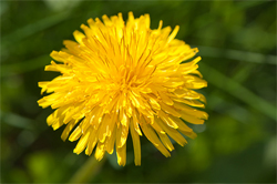 WR-dandelion