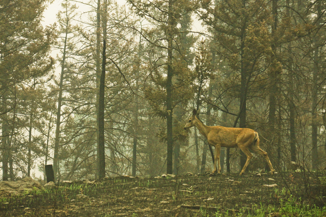 A lone deer alongside the Taseko Lake Rd., confused, starved, and chased from its homeland by an inferno of fire and smoke. So many animals have lost their homelands, and are starved with nothing but ash-covered vegetation to eat.