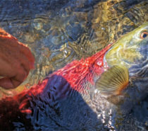 Our Endangered Salmon: No easy answers