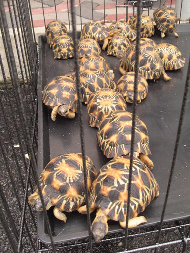 Radiated tortoises from Madagascar