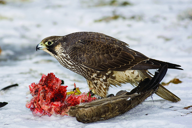 Peregrine falcon. Photo submitted by Nature Canada