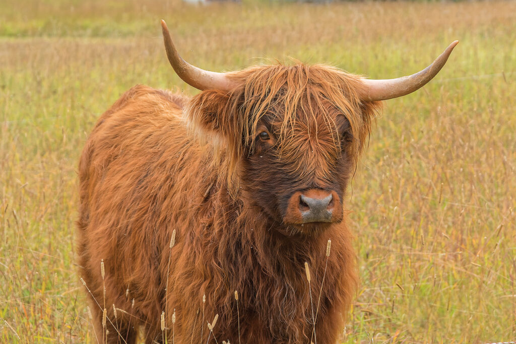 Eclipse is a registered Highland heifer, and is part of the land restoration team at SW2 Ranch. Photo: Ivan Hardwick